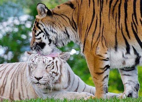 imagenes de leones vs tigres tigres et lions et autres felins page 2