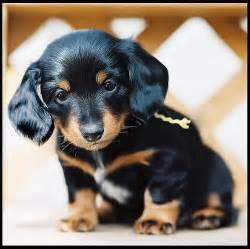 Dachshund Puppies Dachshund Black Dachshund Puppies