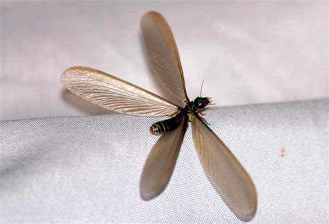 flying termites  wings swarmers pictures