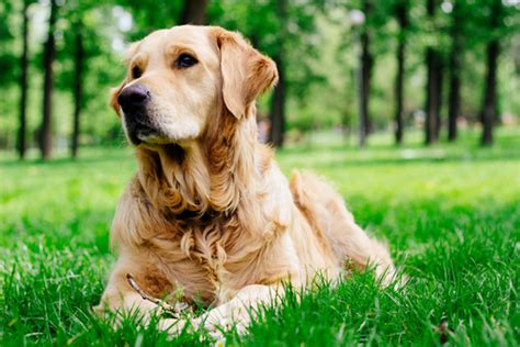 golden retriever names and meanings how the 10 most popular breeds got their names iheartdogs