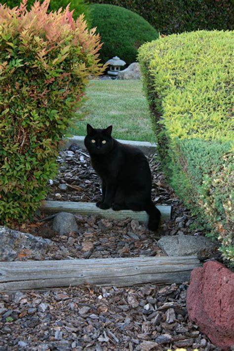 cat garden black cat in garden free stock photo domain pictures