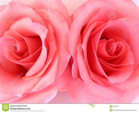 imagenes de rosas turquesas dos rosas rosadas macras imagen de archivo imagen de