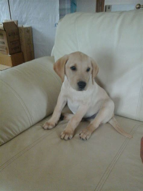 golden lab puppies for sale golden labrador retriever puppy for sale beverley east of