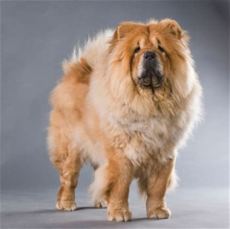 Do Chows Shed by Chow Chow