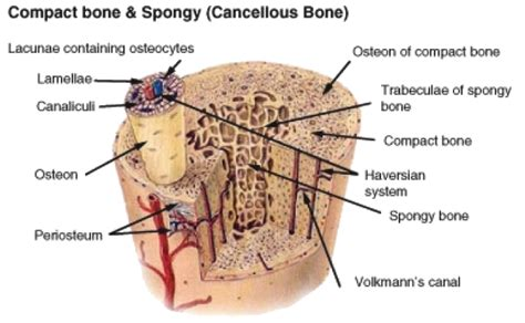 compact bone diagram haversian system diagram 28 images structure and