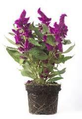piante ricanti con fiori viola cerca immagini quot fiore viola quot