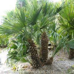 Decorative Topiary - chamaerops humilis from palm centre