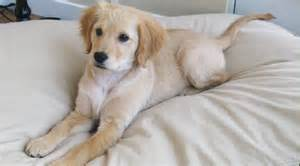 Comfort Spaniel Miniature Golden Retriever Puppies
