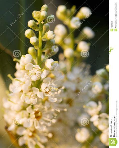 fiori in inglese fiori inglesi dell alloro fotografia stock immagine di