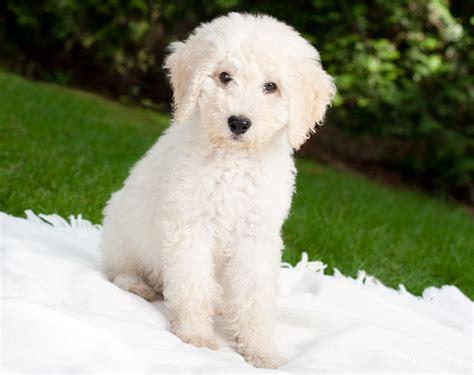 labradoodle dogs  fun facts   australian hybrid