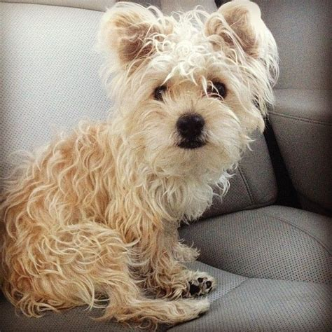 how to groom a morkie morkie grooming styles car interior design