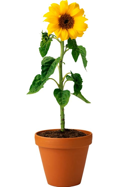 potted sunflower picture more detailed picture about led flower pot gerbera fake flowers sunflower seed and oil png photo