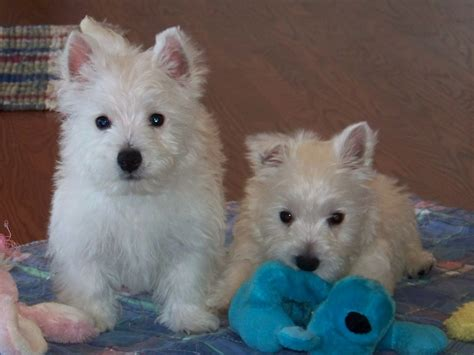 westie dogs westie puppies