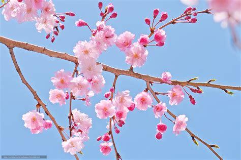 sfondi fiori di ciliegio scaricare gli sfondi fiori di ciliegio fiori filiale