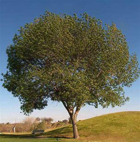 fan tex ash tree the gallery for gt fraxinus velutina fan tex