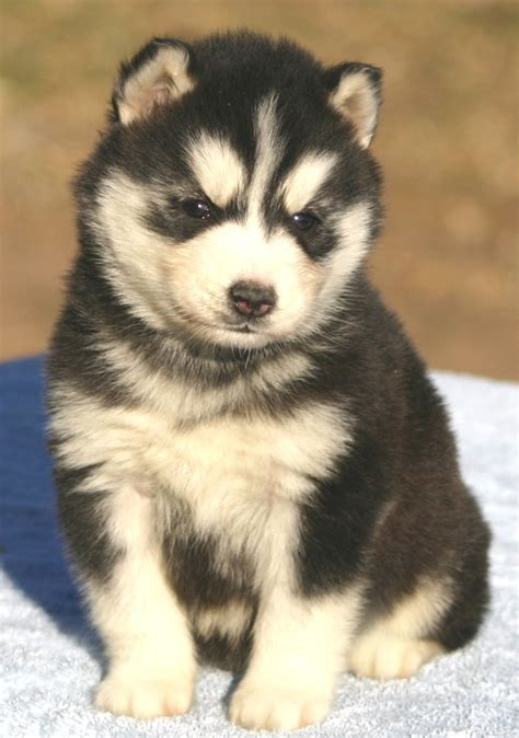 husky puppies wisconsin siberian husky puppies for sale in canada breeds picture