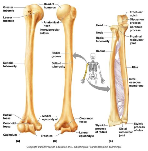 Arm And Shoulders Bone Labeled Human Anatomy System