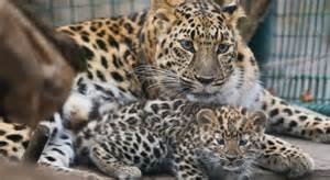 Leopard cub at prague zoo caught on camera while hanging out with its
