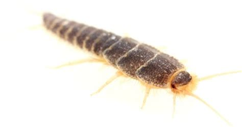 what causes silverfish in bathrooms ways and tips on how to prevent silverfish from spreading