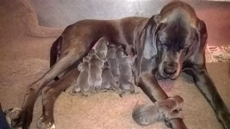 blue great dane puppies for sale in blue great dane puppies for sale bishops castle shropshire pets4homes