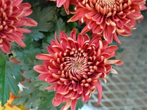 mums flowers types of mums hgtv