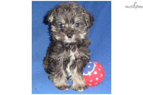 schnoodle puppies for sale near me schnoodle puppy for sale near akron canton ohio c926d4a5 a481