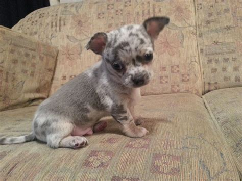 merle puppies the gallery for gt lavender merle chihuahua