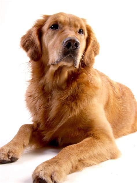 hund golden retriever kostenloses foto golden retriever hund tier kostenloses bild auf pixabay 642015