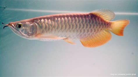 Anakan Ikan Arwana Golden cara memilih indukan ikan arwana yang dapat
