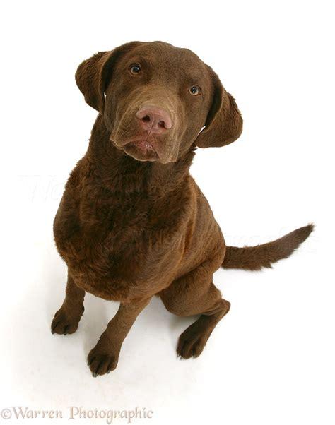 Dog: Chesapeake Bay Retriever photo WP15028