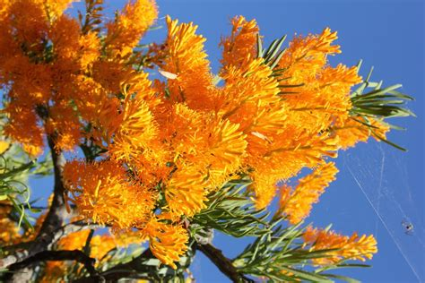 panoramio photo of west australian wildflowers nuytsia