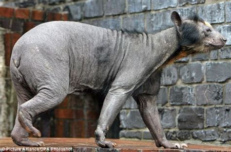 Hairless Bear Meme - hairless bears have it tough look super creepy scary