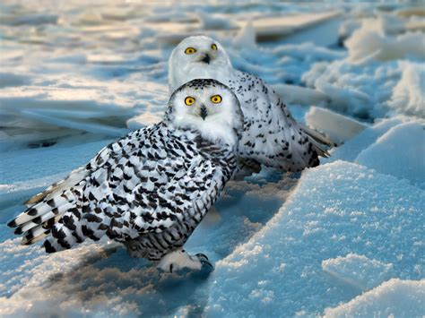 snowy owls nyc visit reveals migration habits