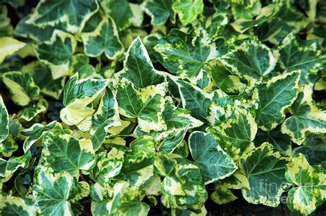 english ivy english ivy hedera helix golden child photograph by