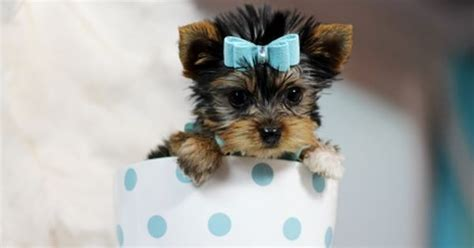 yorkies for sale in detroit teacup yorkies for sale teacup yorkie dogs florida pets teacup yorkie yorkie dogs and yorkies