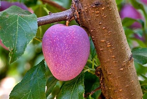 hybrid fruit tree plum cherry apricot hybrid