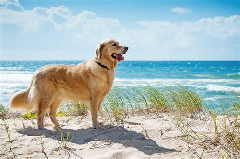 getting a golden retriever 5 things you should before getting a golden retriever