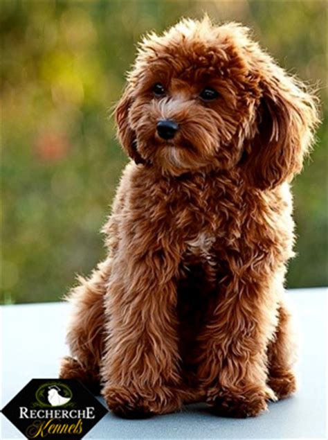 Cavapoo Shedding by Suggestions For Dogs And Or Cats For Premades The Sims