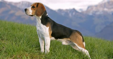 alimentazione beagle beagle carattere prezzo caratteristiche cure e