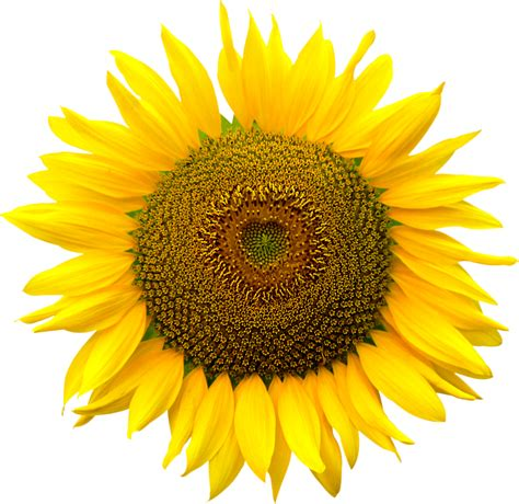 Sunflower Kuaci Bunga Matahari 1000 G sunflower clipart golden flower sunflower clip sunflower png image pictures sunflower