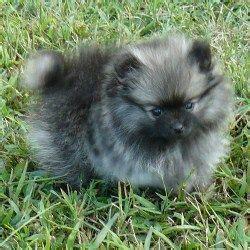 pomeranian puppies for sale in ri m 225 s de 25 ideas incre 237 bles sobre criadores de pomerania en fluffy