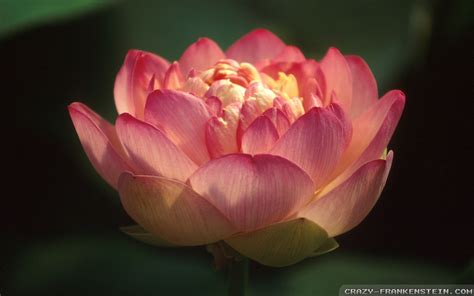 a lotus for you a buddha to be lotus flower buddha wallpaper www pixshark images