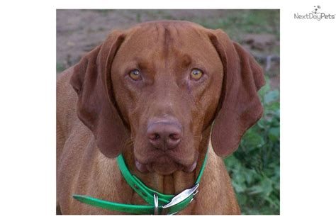 vizsla puppies for sale california akc family raised chion bloodlines vizsla puppies vizsla for breeds picture