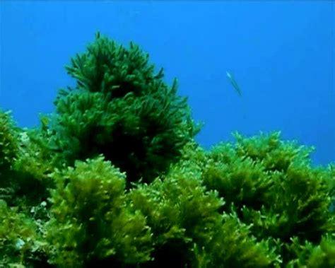 imagenes de algas verdes y azules organismos marinos vegetales marinos algas verdes