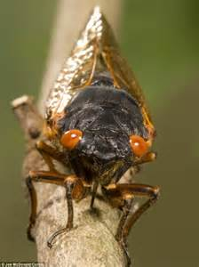 brood ii is here the moment cicadas burst into life from