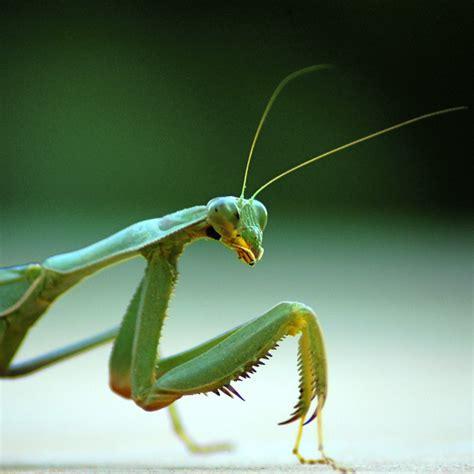 consider the praying mantis for pest craft organic - Praying Mantis Garden Pest