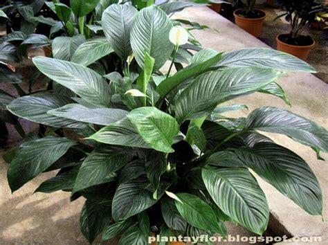 plantas patio interior oscuro cuna de mois 233 s spathiphyllum wallisii ragel tiene hojas