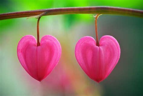 fiori a forma di cuore anche il cuore possiede neuroni la mente 232 meravigliosa