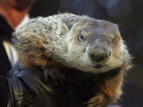 groundhog day accuracy punxsutawney phil indicted in chilly ohio
