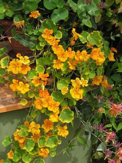 Kapuzinerkresse Winterhart by Kletterpflanzen Plamundo Gartenshop